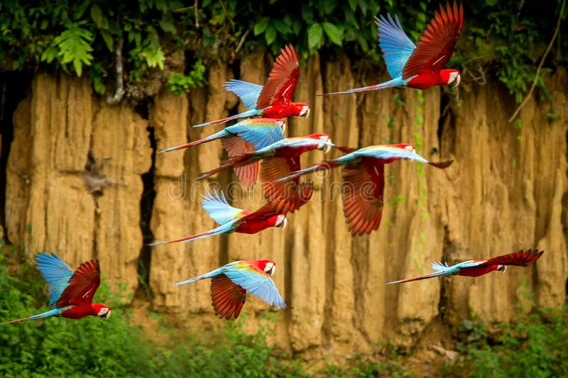 Flock of red parrot in flight. Macaw flying, green vegetation in background. Red and green Macaw in tropical forest, Peru royalty free stock photos