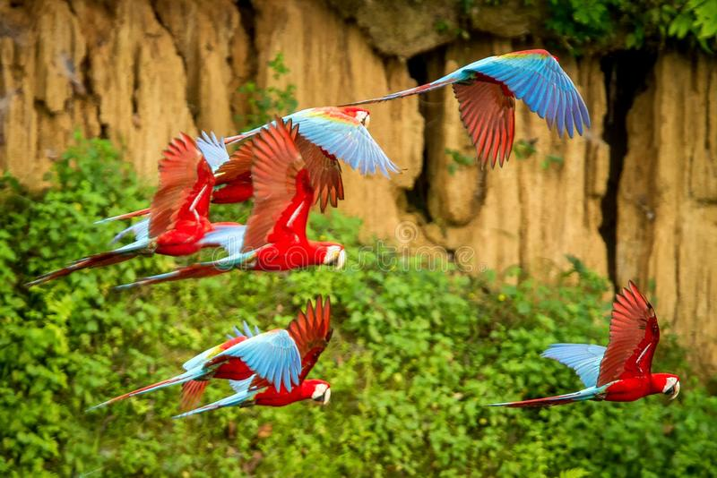 Flock of red parrot in flight. Macaw flying, green vegetation in background. Red and green Macaw in tropical forest, Peru royalty free stock photo