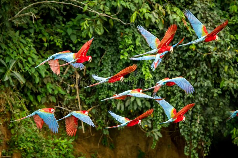 Flock of red parrot in flight. Macaw flying, green vegetation in background. Red and green Macaw in tropical forest, Peru stock images