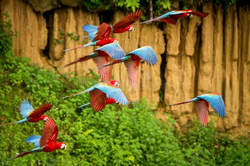 Flock of red parrot in flight. Macaw flying, green vegetation in background. Red and green Macaw in tropical forest, Peru royalty free stock photography