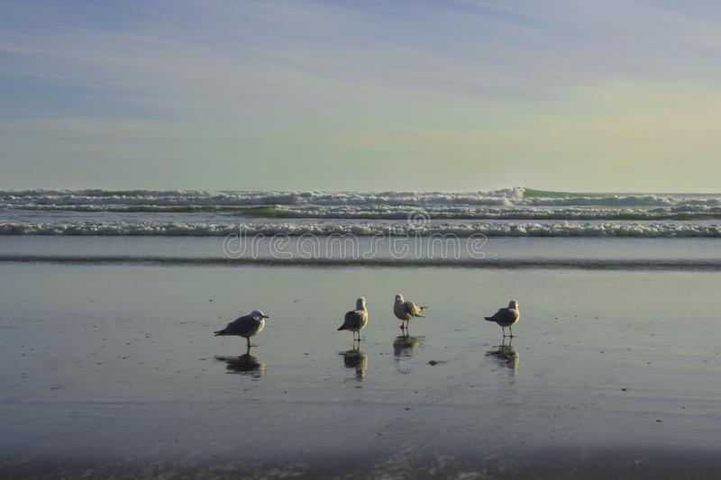 Red-billed Gulls group standing at piha beach, new zealand royalty free stock image