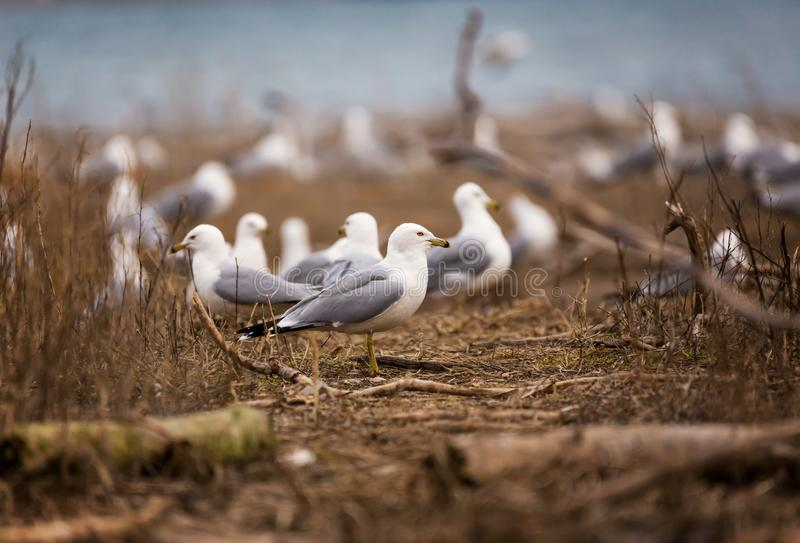 A flock of ring billed gulls rest in Tommy Thompson Park. In Leslie Street Spit of Toronto royalty free stock photography
