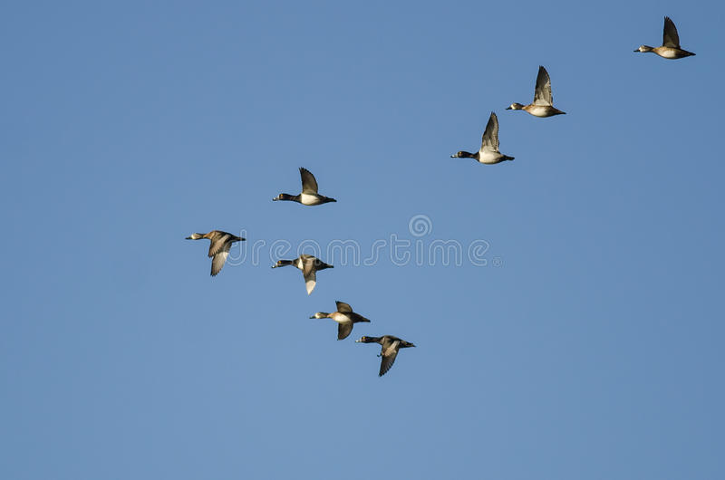 Flock of Ring-Necked Ducks Flying in a Blue Sky. Flock of Ring-Necked Ducks Flying in a Clear Blue Sky royalty free stock photography