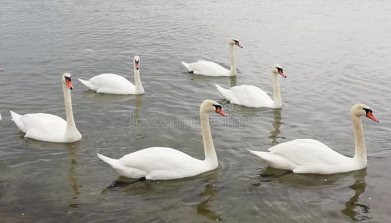 A flock of beautiful swans is reflected on the calm surface of the sea. Calming serene beautiful background royalty free stock photography