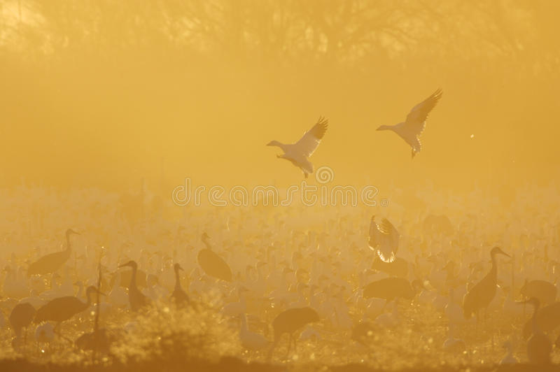 Flock of Sandhill Cranes and Geese. Two geese land admist a flock of sandhill cranes in a hazy field royalty free illustration