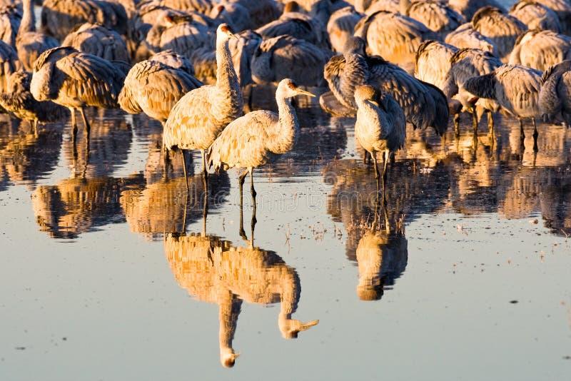 Flock of Sandhill Cranes at Sunrise