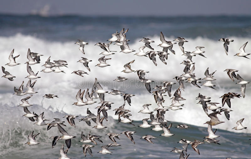 Download Flock of sea birds flight stock image. Image of wingspan - 19391121