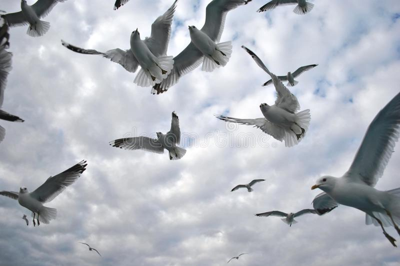 Download Flock Of Sea-Gulls In The Baltic Stock Image - Image of cumulus, avian: 18362517