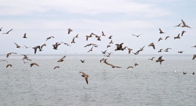 Flock of seabirds. Over ocean with cloudscape background stock photography