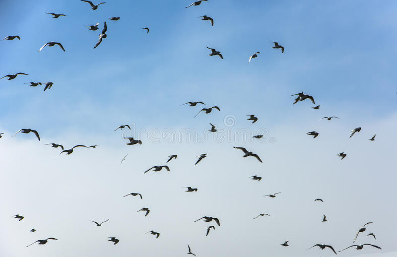 Flock of Seabirds. In the sky royalty free stock images