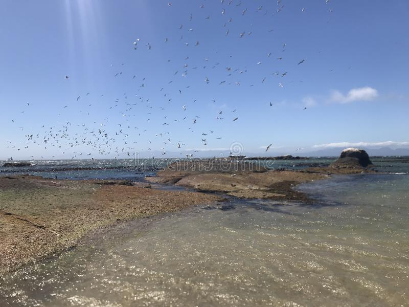 Flock Of Seabirds Taking Off From Boulder Beach Heading Towards False Bay South Africa. Flock Of Seabirds Taking Off from Boulder Beach Near Simon`s Town Heading royalty free stock photo