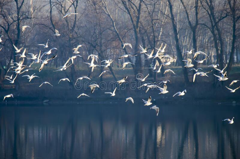 Flock of seagull birds flying above the lake in winter migration. Flock of seagull birds flying above the park and lake in winter, with tree reflections in water royalty free stock photography