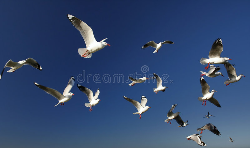 A Flock of Seagulls royalty free stock image