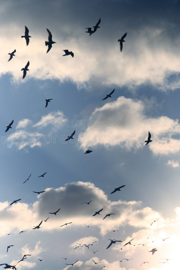 Flock of seagulls royalty free stock images