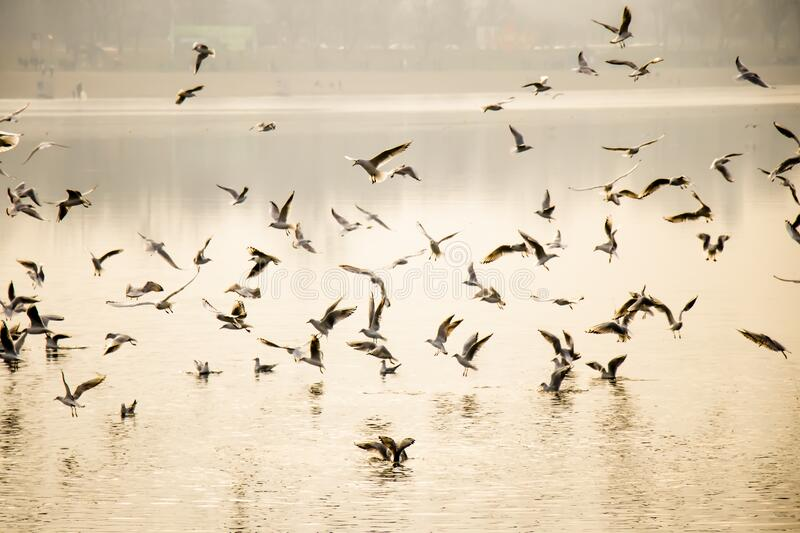 Flock of seagulls in and above river water in sunset royalty free stock photography