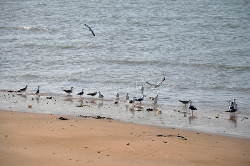 Flock of seagulls on a beach stock photography