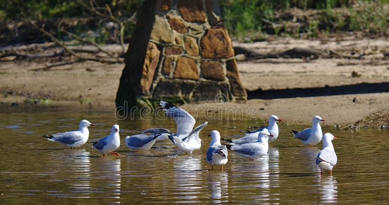 Flock of seagulls on water. Flock of seagulls on brown water on sunny day stock photo