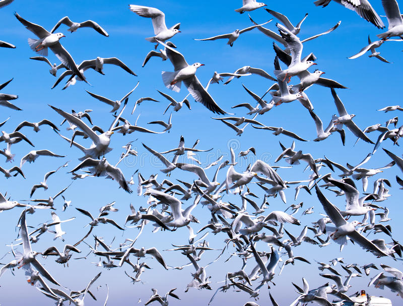 A flock of seagulls royalty free stock photo