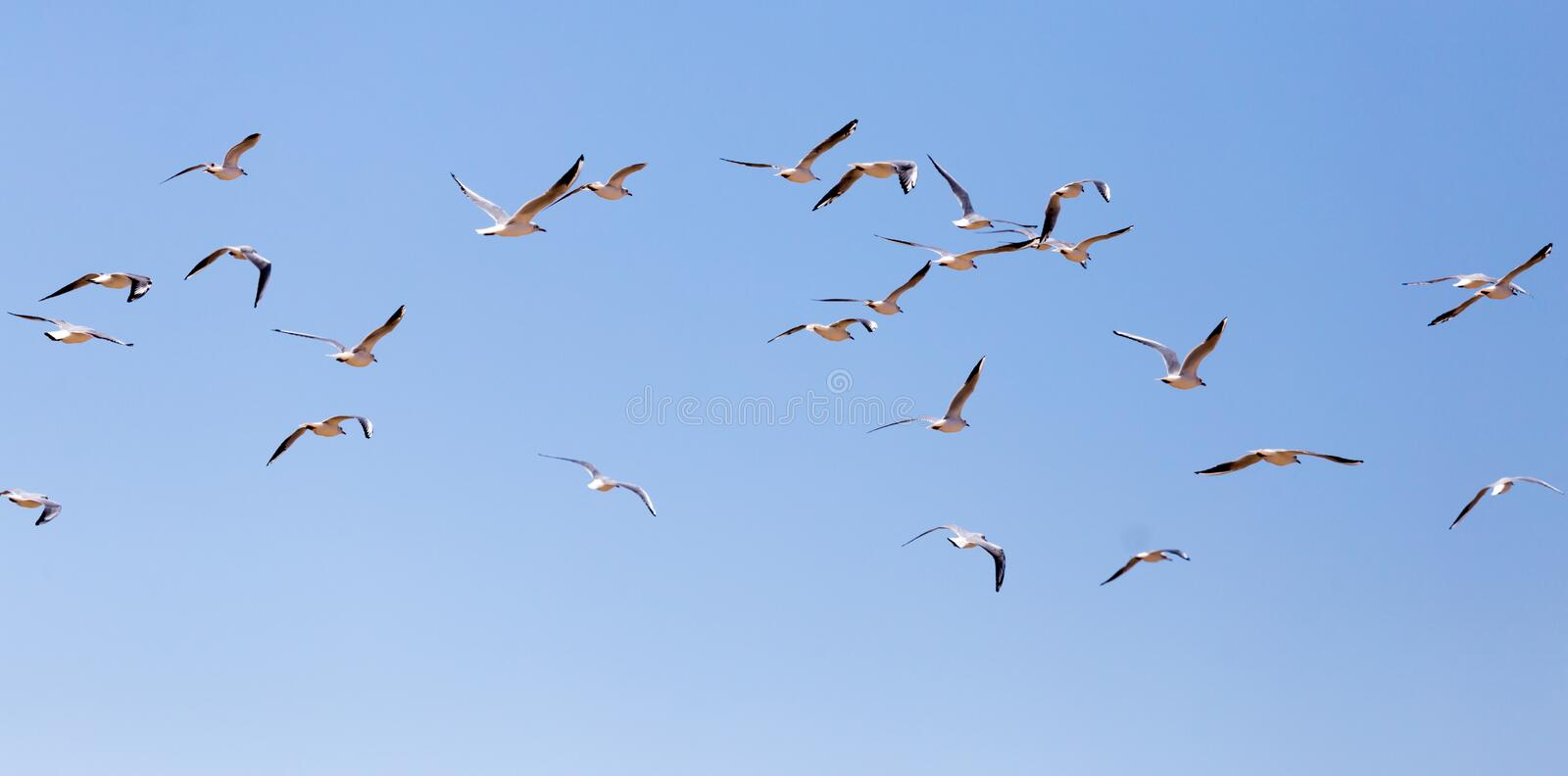 A flock of seagulls in flight royalty free stock images