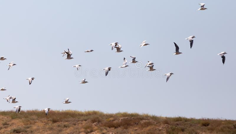 A flock of seagulls in flight stock images