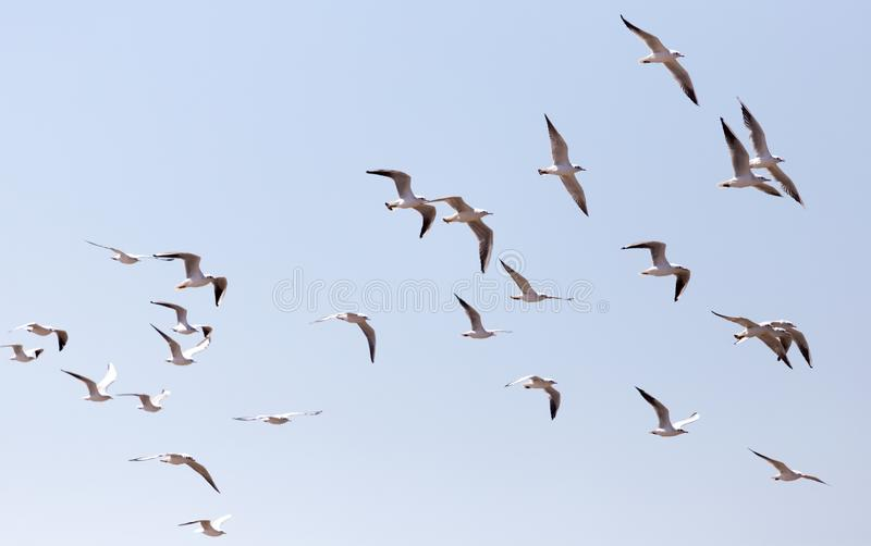 A flock of seagulls in flight stock image