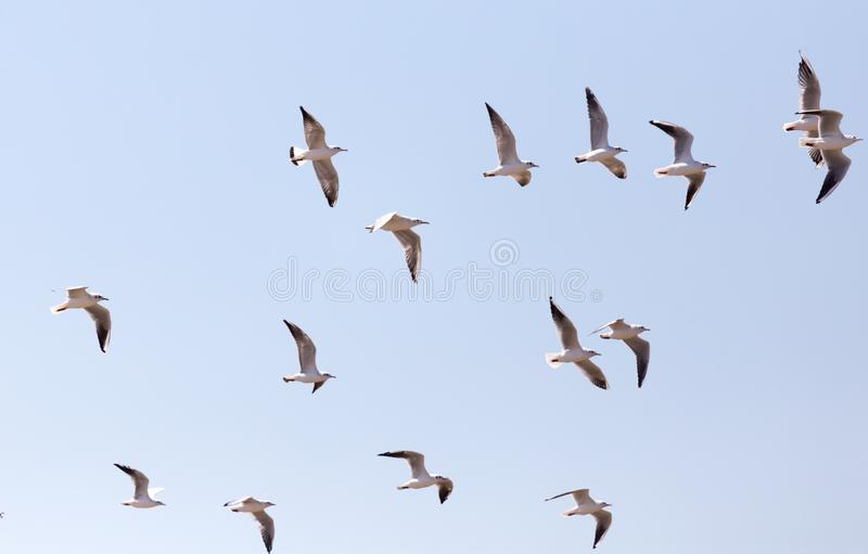 A flock of seagulls in flight royalty free stock photo
