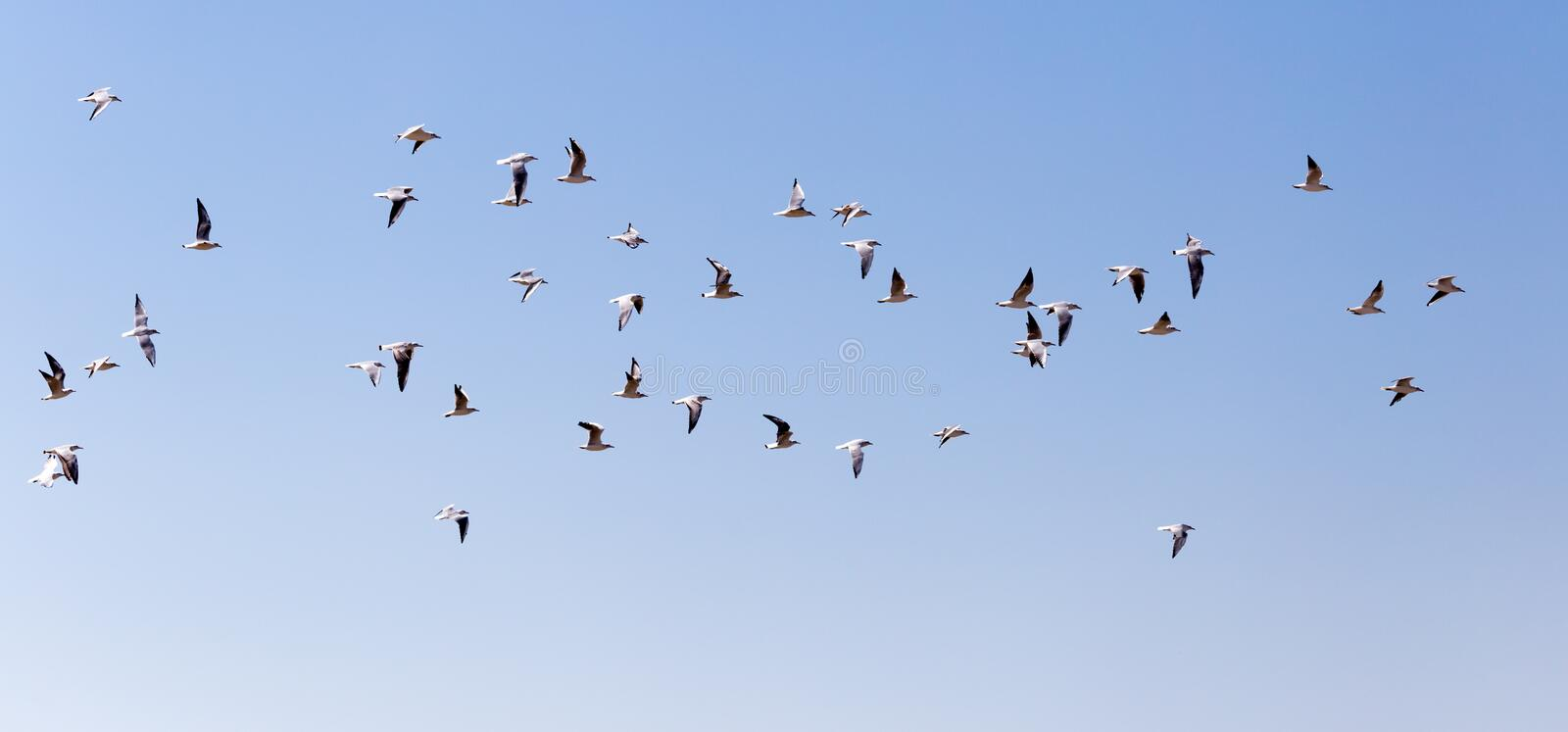 A flock of seagulls in flight stock photography