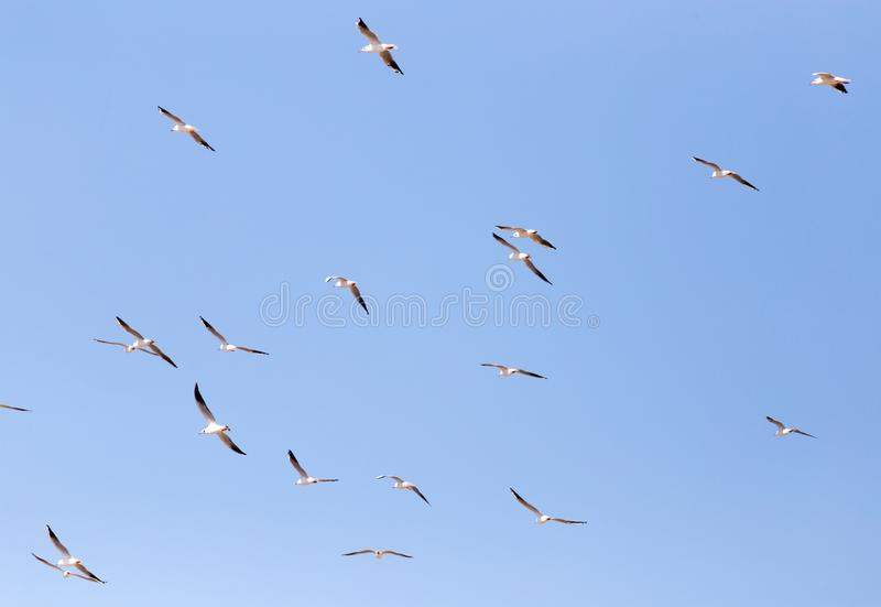 A flock of seagulls in flight stock photos