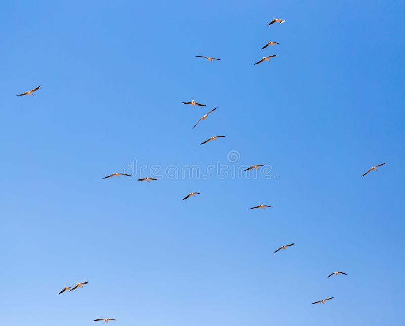 A flock of seagulls in flight royalty free stock photos