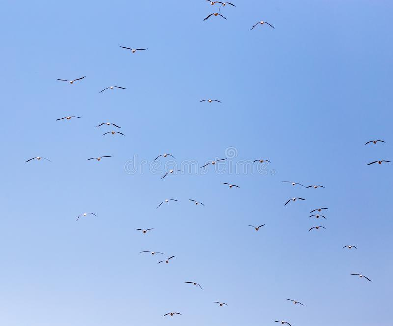 A flock of seagulls in flight royalty free stock image