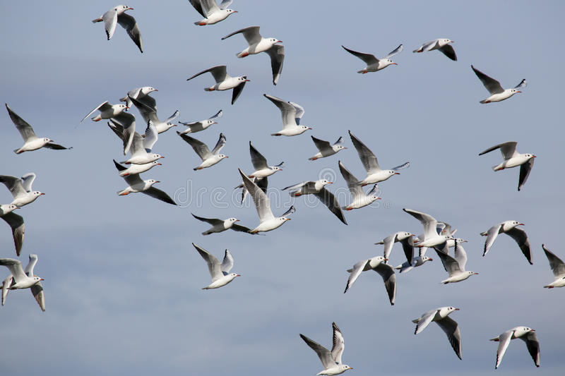 A flock of seagulls in flight. royalty free stock images