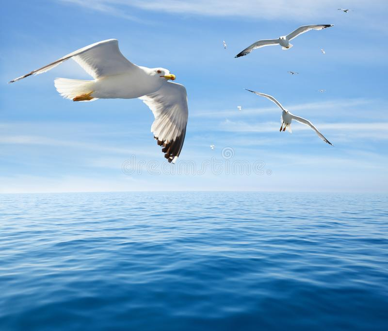 Flock of seagulls. Flock of seagulls flying over the sea royalty free stock images