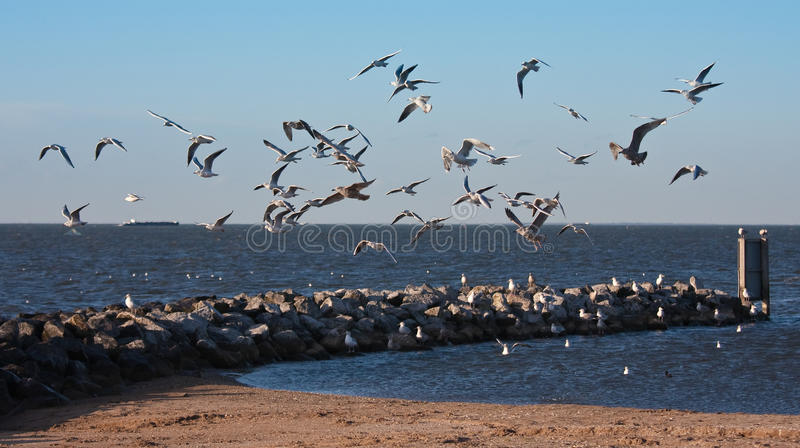 Flock of seagulls, flying above the beach of Urk, royalty free stock image