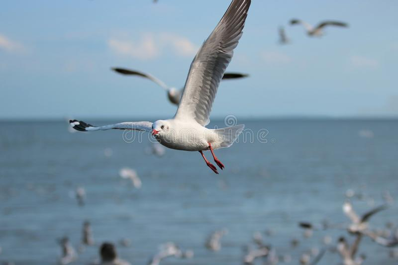 Flock of seagulls flying in the blue sky over sea Science name is Charadriiformes Laridae . Selective focus and shallow depth o. F field royalty free stock photography