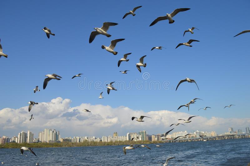 Flock Of Seagulls Flying Over Sea stock images