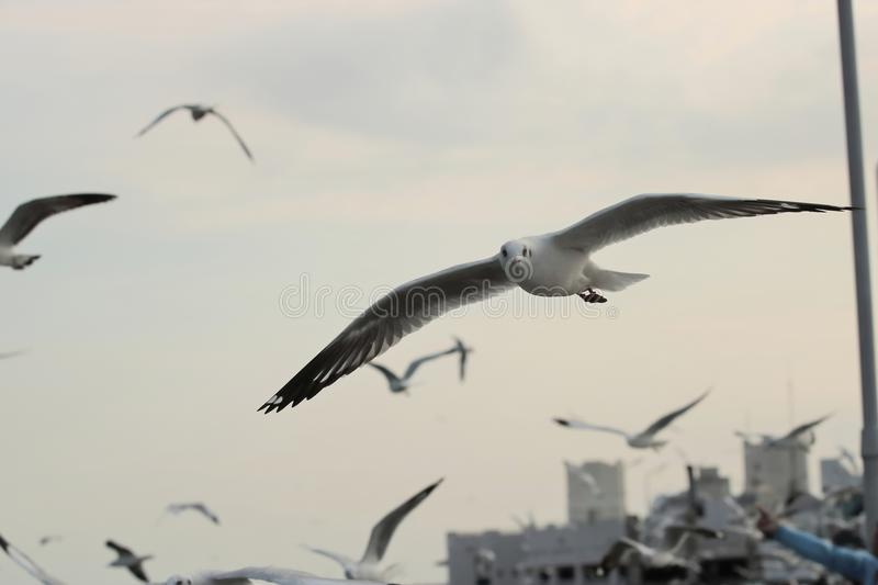 Flock of seagulls flying in the sky background Science name is Charadriiformes Laridae . Selective focus and shallow depth of f. Ield royalty free stock photography