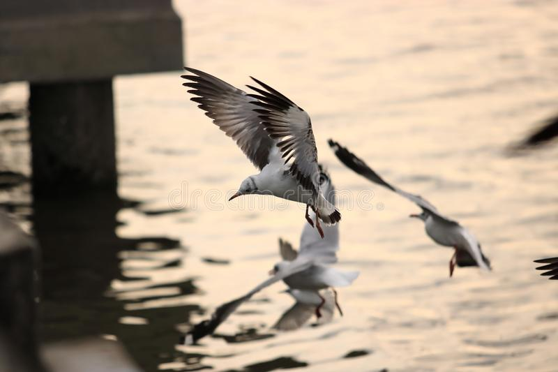 Flock of seagulls flying in the sky over sea during sunset Science name is Charadriiformes Laridae . Selective focus and shallo. W depth of field royalty free stock image