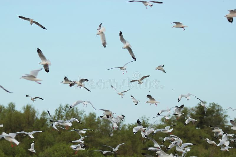Flock of seagulls flying in the sky Science name is Charadriiformes Laridae . royalty free stock photos
