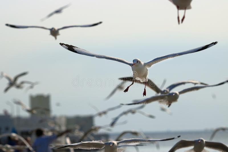 Flock of seagulls flying in the sky Science name is Charadriiformes Laridae . Selective focus and shallow depth of field. Flock of seagulls flying in the sky stock photo