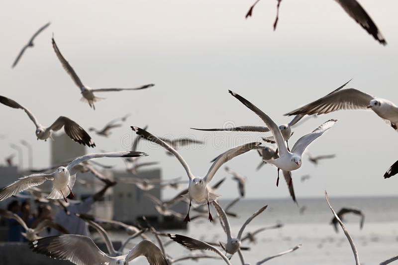 Flock of seagulls flying in the sky Science name is Charadriiformes Laridae . Selective focus and shallow depth of field. Flock of seagulls flying in the sky royalty free stock image