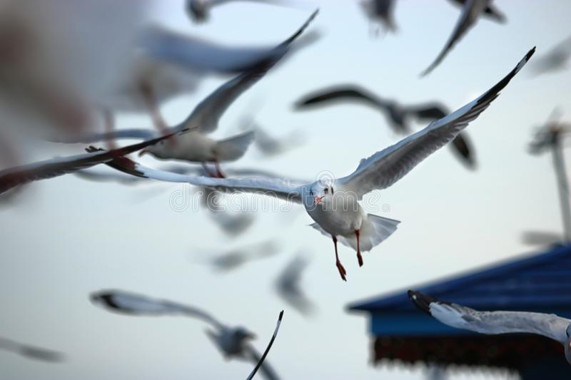 Flock of seagulls flying in the sky Science name is Charadriiformes Laridae . Selective focus and shallow depth of field. Flock of seagulls flying in the sky stock photography