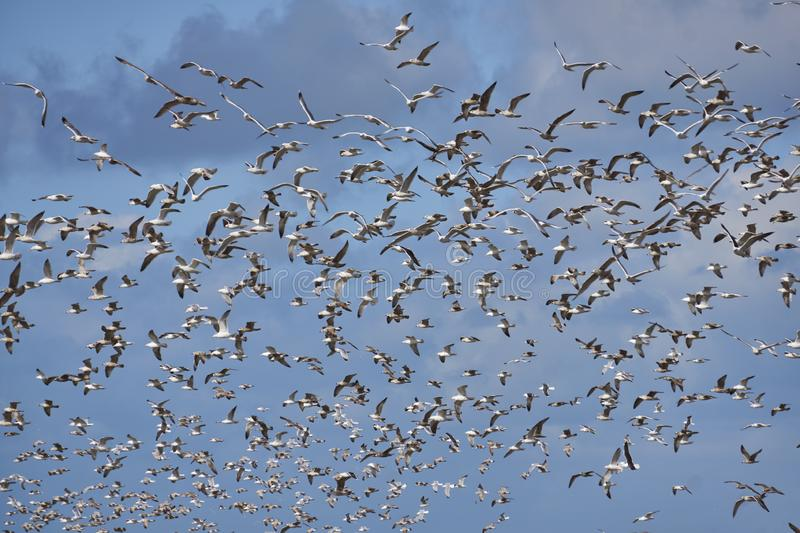 Flock of seagulls flying in windy sky with clouds royalty free stock photography