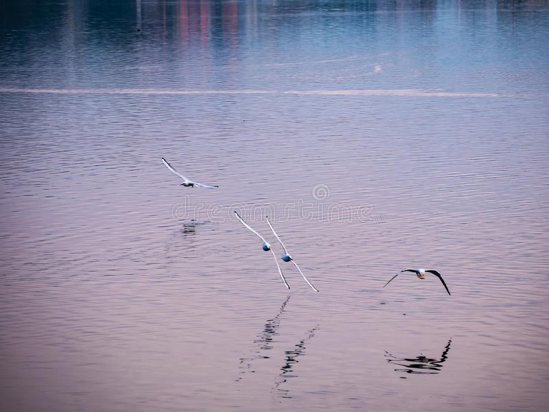 Flock of seagulls on an Italian lake, in the early hours of the morning, chasing each other in flight stock photography