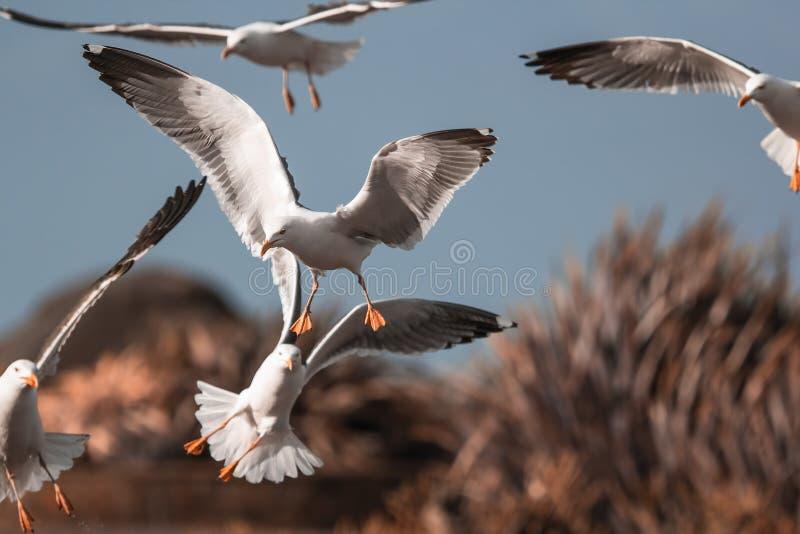 Flock of seagulls landing. Gull seaside birds in flight. royalty free stock photos