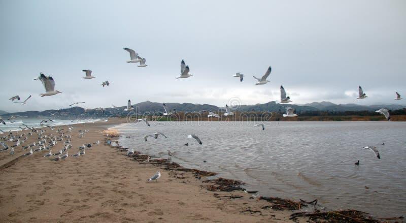 Flock of Seagulls [Laridae] in flight at McGrath state park marsh estuary nature preserve - Santa Clara river - Ventura USA. Flock of Seagulls [Laridae] in stock photography