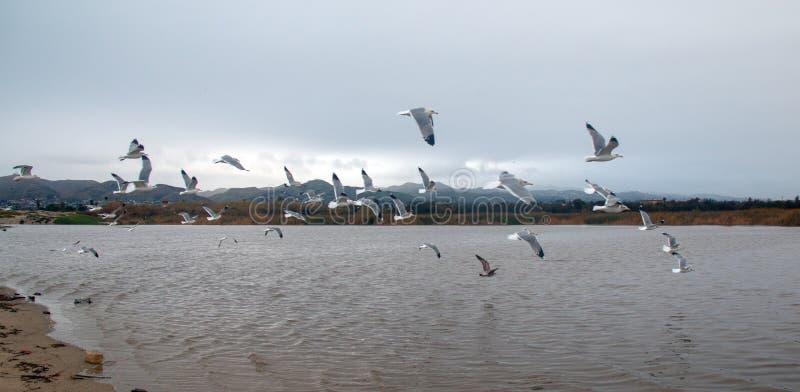 Flock of Seagulls [Laridae] in flight at McGrath state park marsh estuary nature preserve - Santa Clara river - Ventura USA. Flock of Seagulls [Laridae] in stock image