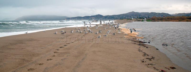 Flock of Seagulls [Laridae] in flight at McGrath state park marsh estuary nature preserve - Santa Clara river - Ventura USA. Flock of Seagulls [Laridae] in stock photos