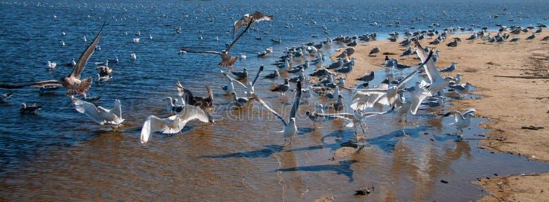 Flock of Seagulls [Laridae] in flight at McGrath state park marsh estuary nature preserve - Santa Clara river - Ventura USA. Flock of Seagulls [Laridae] in royalty free stock photo