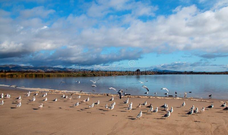 Flock of Seagulls [Laridae] in flight at McGrath state park marsh estuary nature preserve - Santa Clara river - Ventura USA. Flock of Seagulls [Laridae] in stock photo