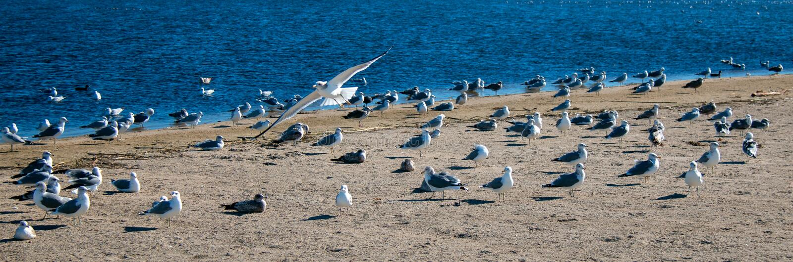 Lone Seagull flying over flock of seagulls [Laridae] at McGrath state park Santa Clara river mouth marsh at Ventura California USA. Lone Seagull flying over royalty free stock photo